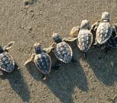 Moonlight Sea Turtle Walks