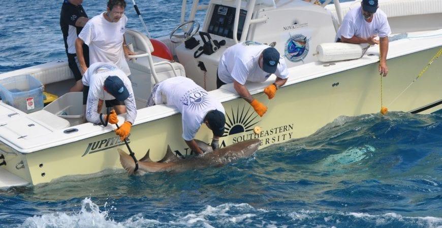 NSU Shark Tagging